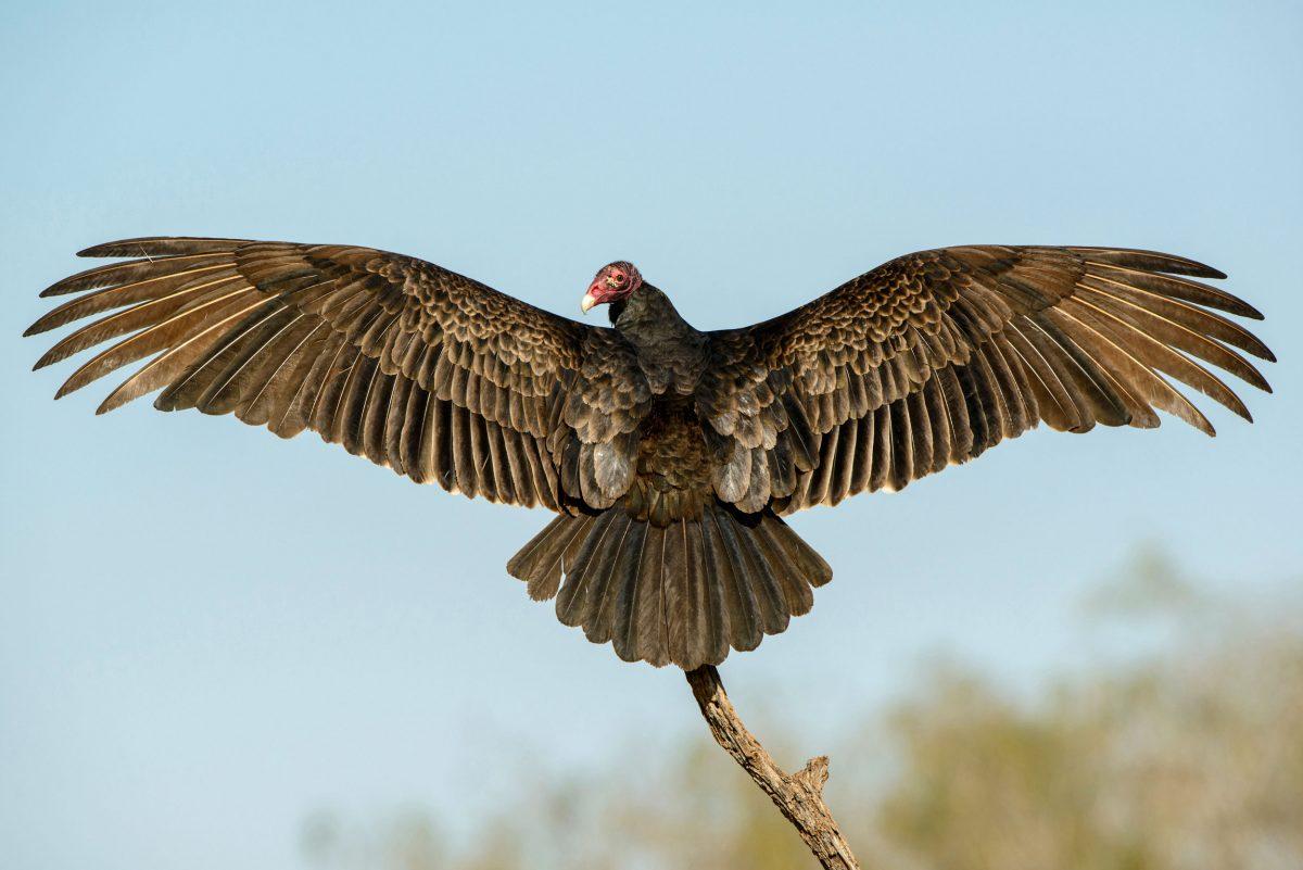 basking turkey vulture