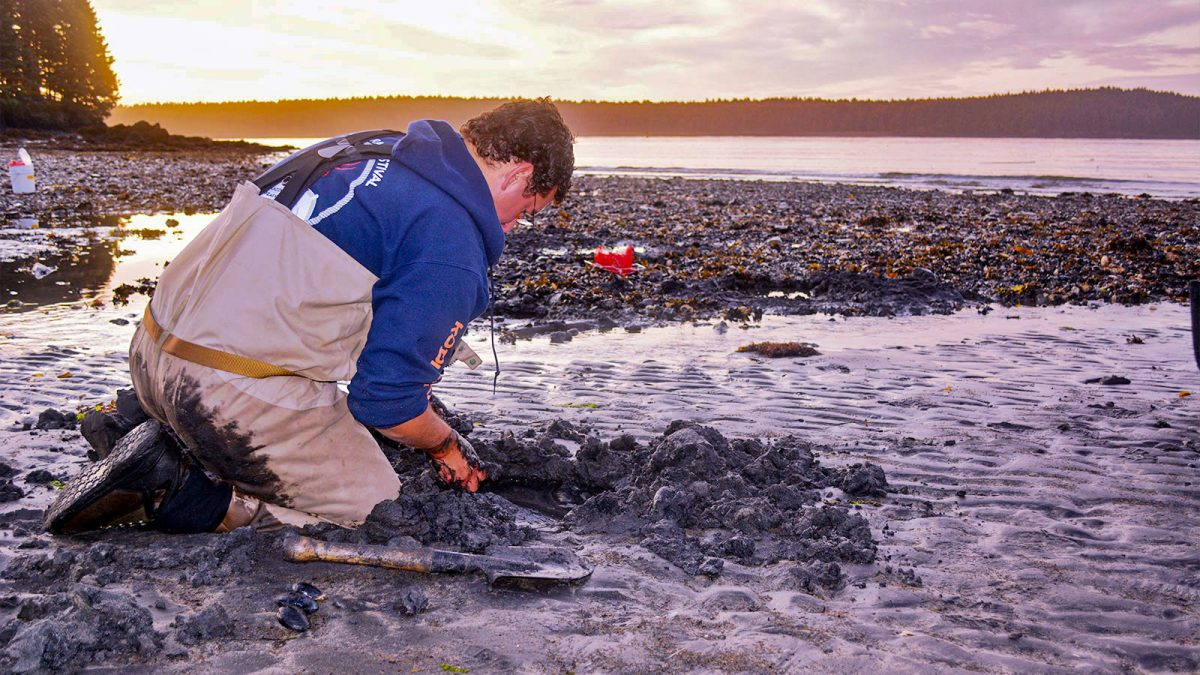 Volunteer Matt Vandaele helps dig for clams to be tested for saxitoxin at Mission Beach on Kodiak Island, Alaska