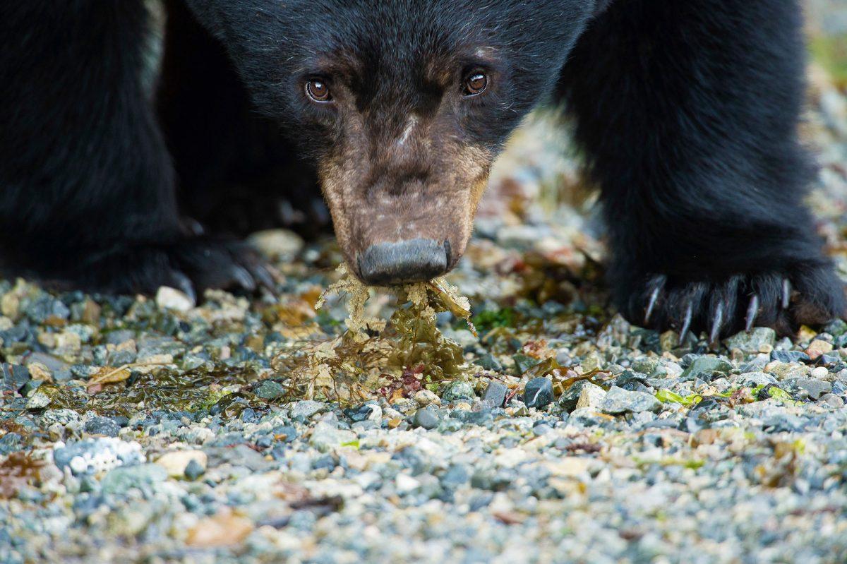 a black bear eats herring roe on seaweed