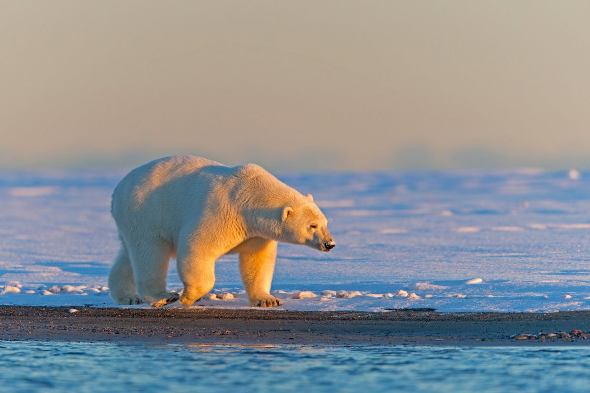 polar bear on the shore, Alaska