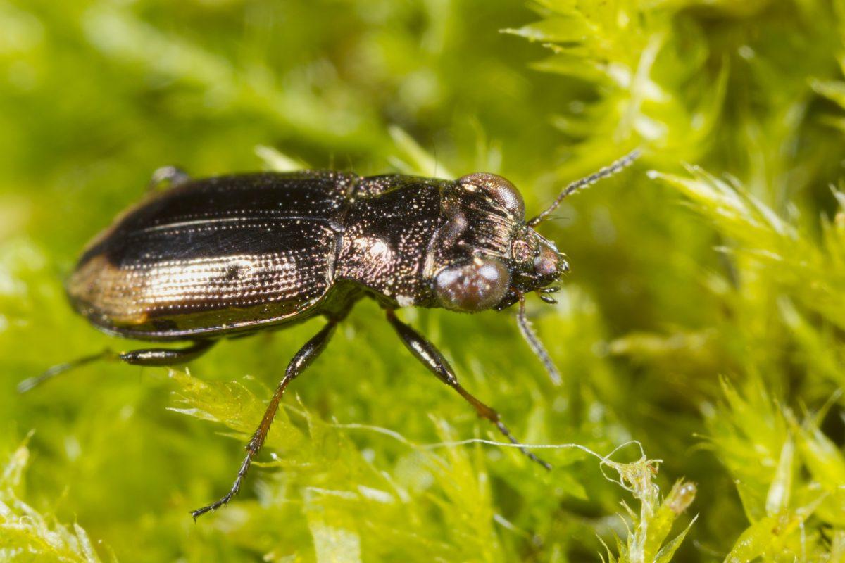 Big-eyed Bronze Ground Beetle (Notiophilus biguttatus)