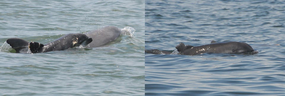 Before and after photos show how one dolphin has recovered from its encounter with a shark. Photos by the Chicago Zoological Society's Sarasota Dolphin Research Program. Photos collected under National Marine Fisheries Service Scientific Research Permit No. 15543.