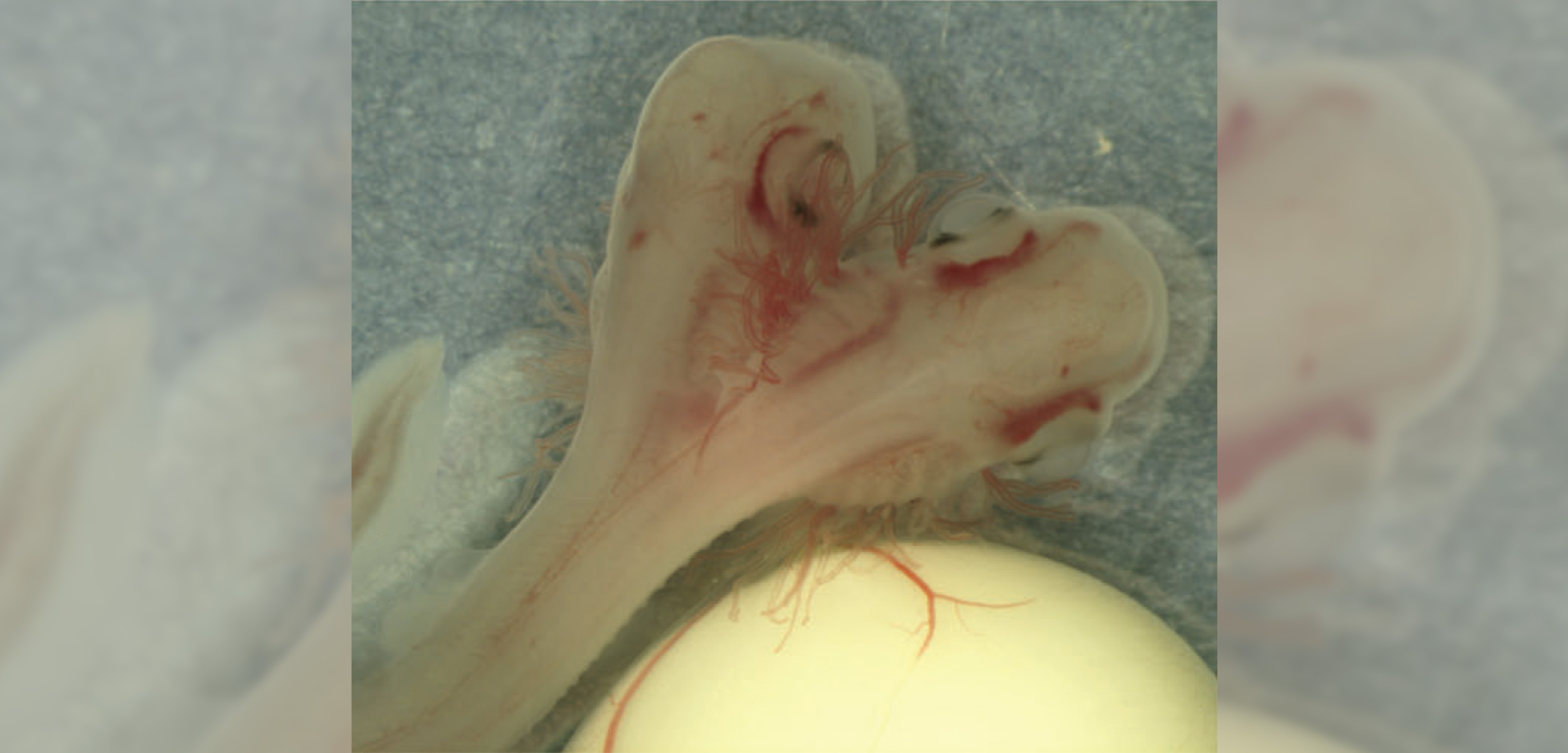 This is the first two-headed shark discovered from an egg-laying shark species. Photo by Sans-Coma et al.