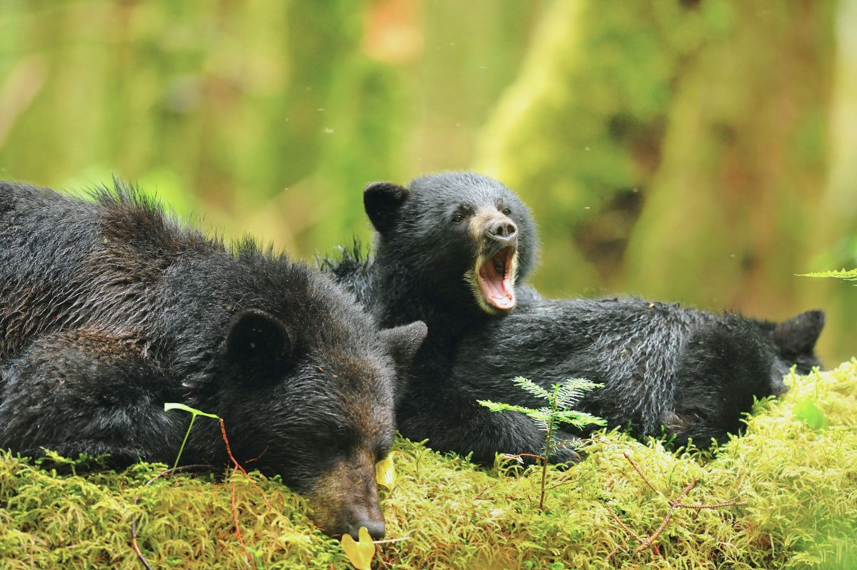 Black Bear (Ursus americanus) at rest with cubs, Princess Royal Island, Great Bear Rainforest