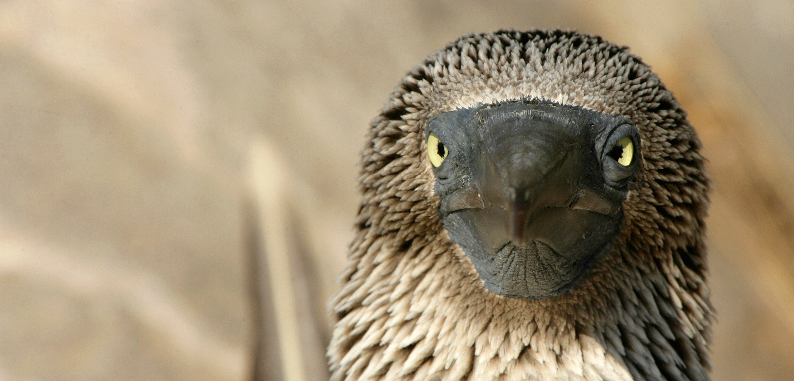 The blue-footed booby may seem comical on land, but it has a sinister side. Photo by David Fettes/Corbis