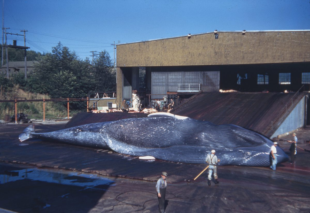 blue whale at Coal Harbour whaling station