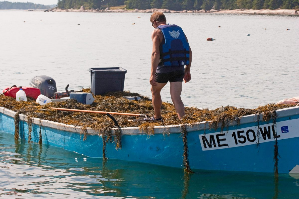 boat harvesting rockweed in Maine