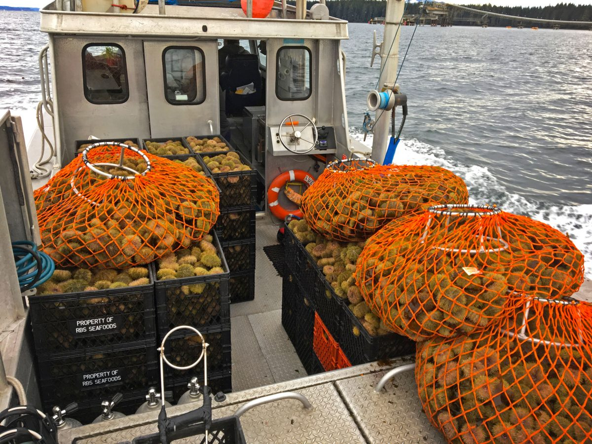 crates of sea urchin on a boat