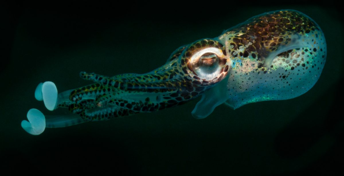 Bobtail squids house bioluminescent bacteria in their tissues. Viewed from below, the glowing cephalopods mimic the moon. Photo by Jurgen Freund/Minden Pictures