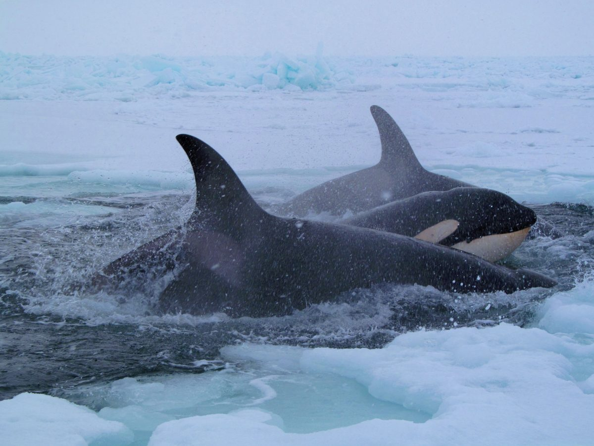 killer whales trapped in arctic sea ice