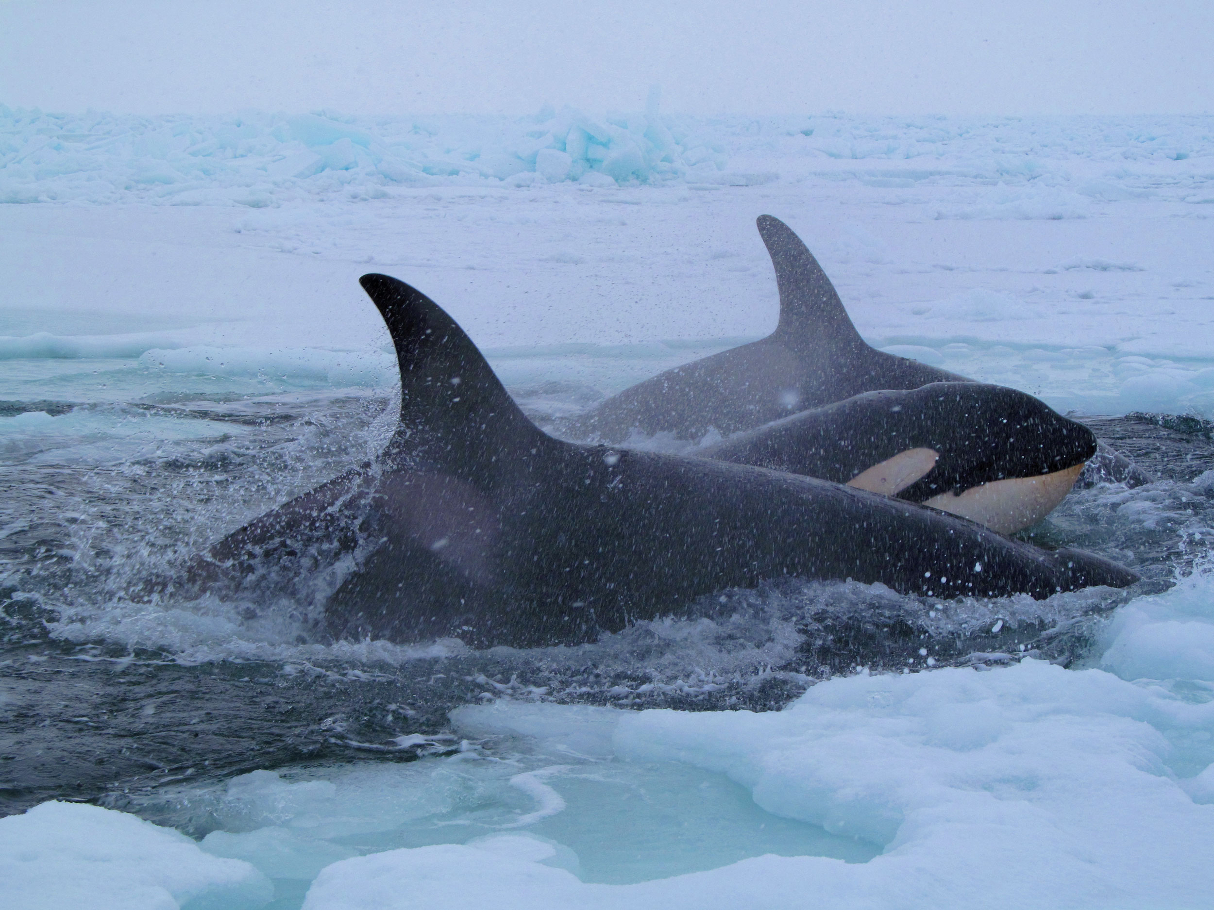 Killer Whales Are Expanding into the Arctic, Then Dying as ...
