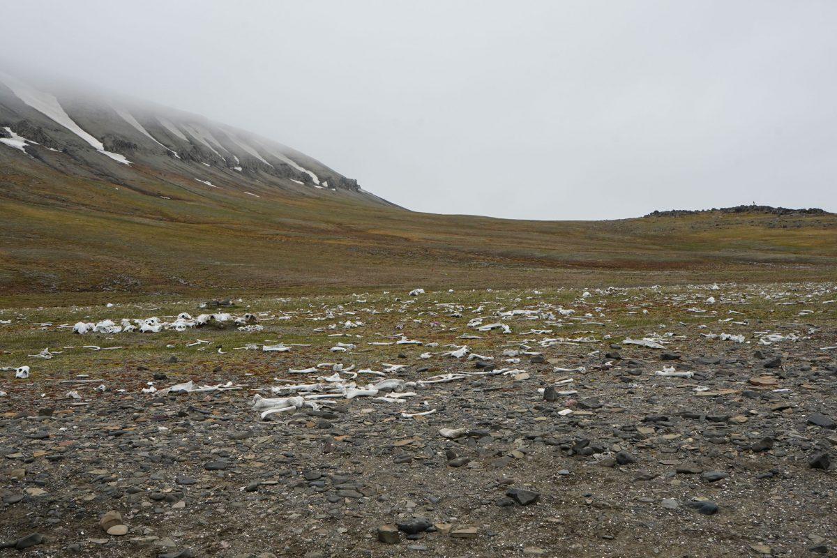 walrus bones on Svalbard