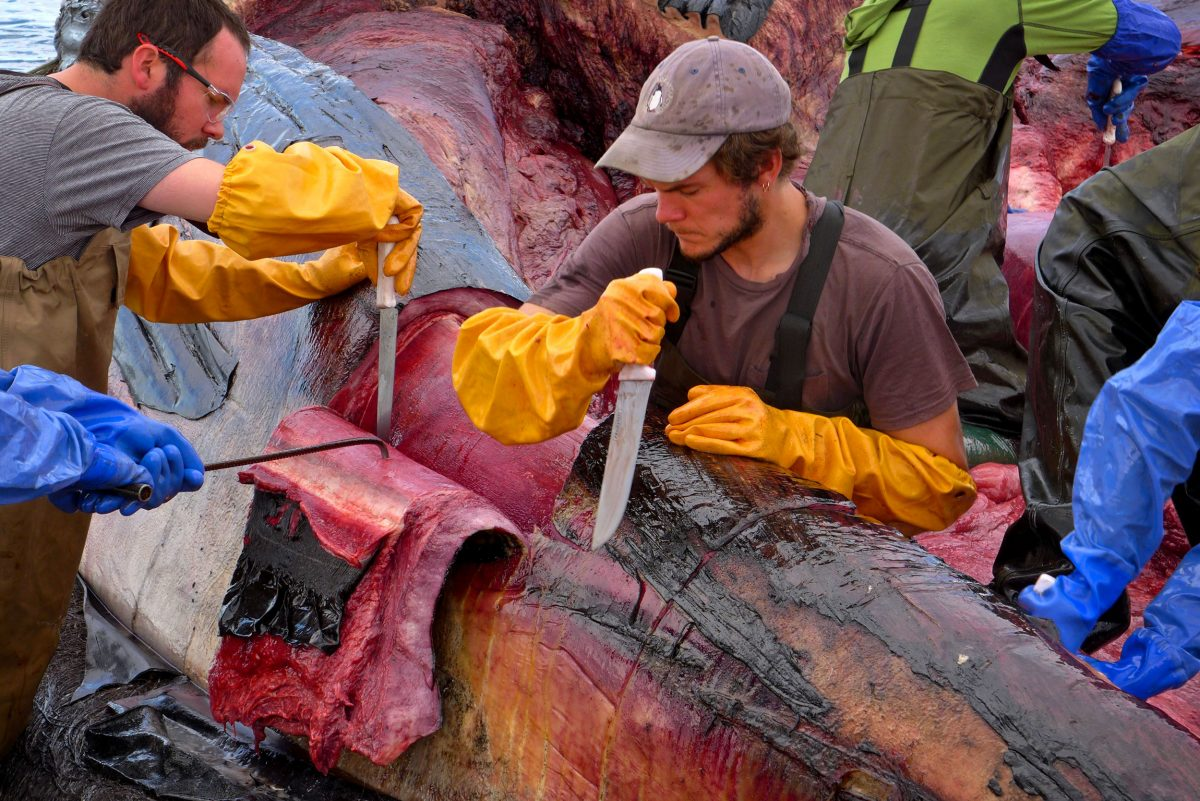 Miguel Cáceres and Benjamín Cáceres removing flesh from the blue whale's jaw