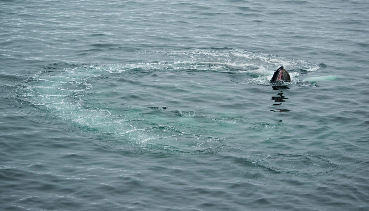 Humpback Whale (Megaptera novaeangliae) bubble-net feeding