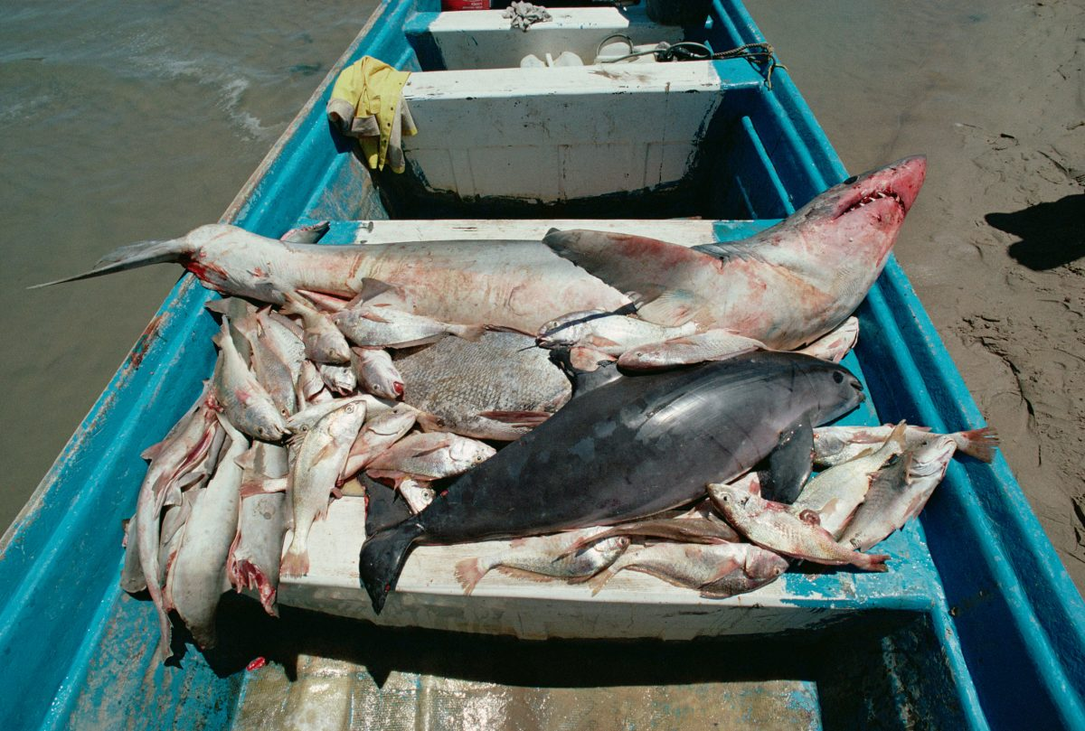 When fishermen target sharks, shrimp, totoabas, and other fish with gill nets, vaquitas can get entangled. Photo by Flip Nicklin/Minden Pictures