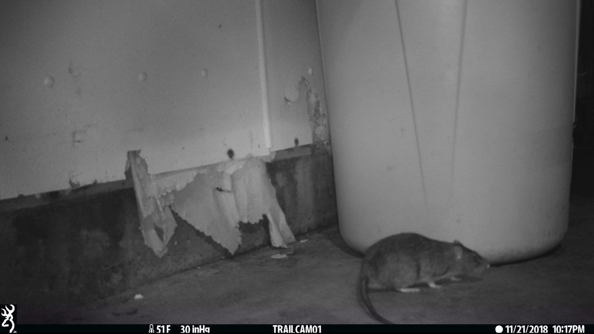 wildlife camera photo fo rat
