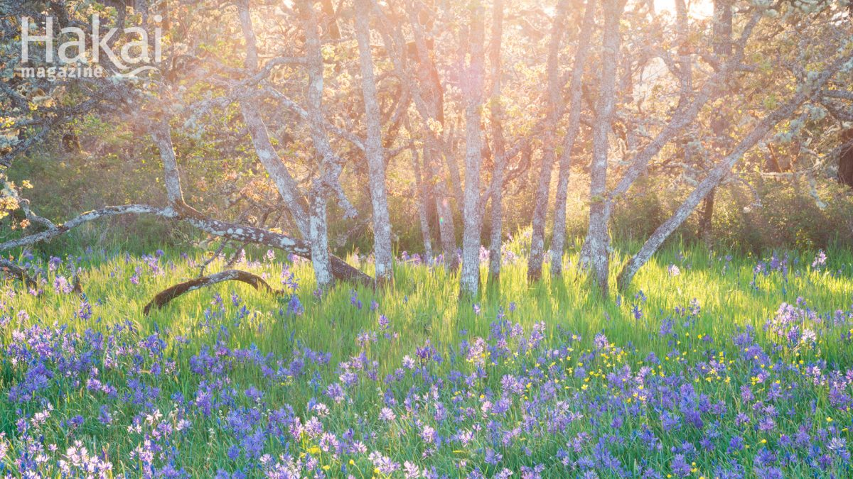 camas and garry oak meadow zoom background