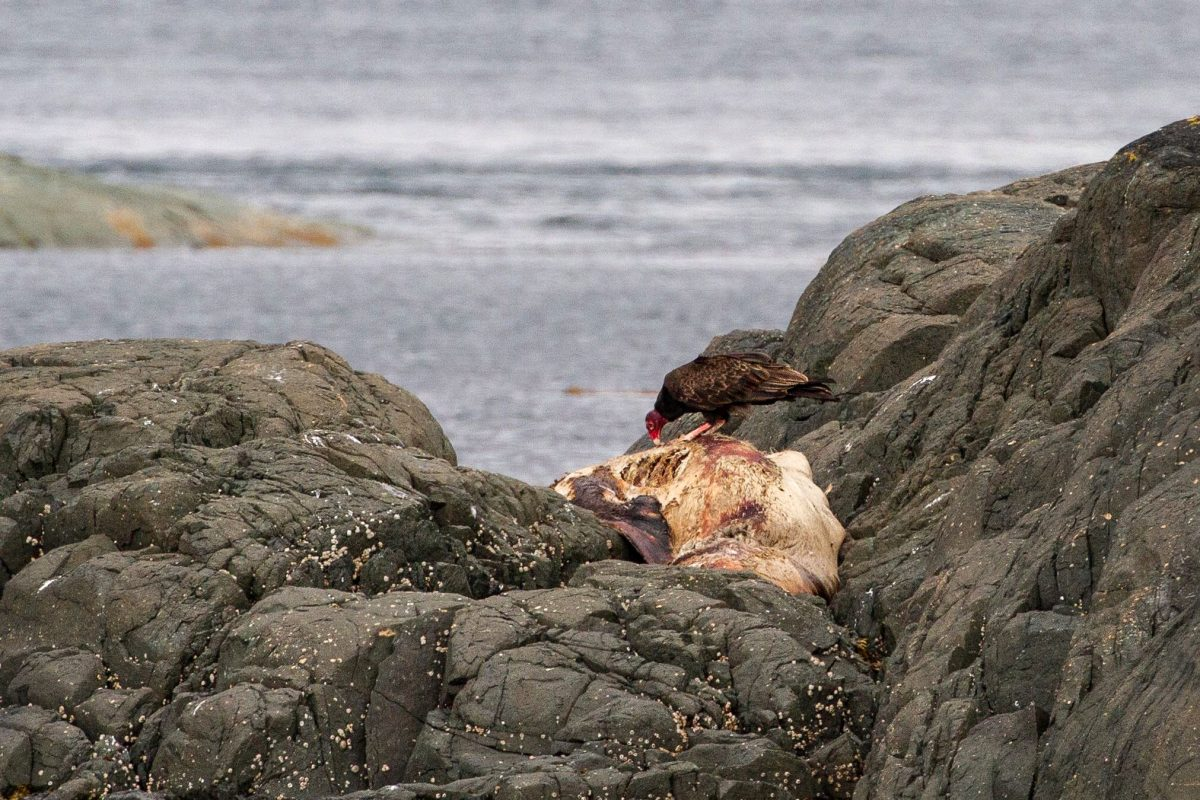 turkey vulture feasts on a dead Steller's sea lion