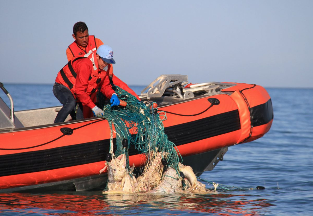Mexican officials aboard a navy boat haul in an illegal gill net containing about 20 totoabas in varying stages of decay. Sea Shepherd's MV Farley Mowat found the net drifting in the Upper Gulf of California after the rotting fish swelled with gas and raised it to the surface. Photo by Sarah Gilman