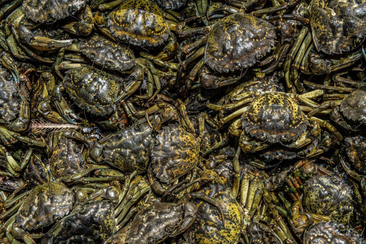 bin of caught green crabs