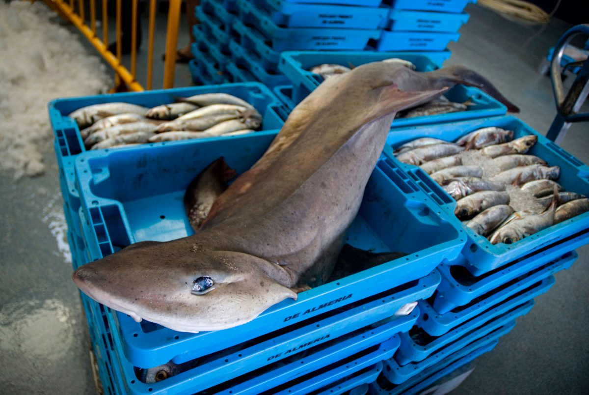 shark and fish in crates at fish market in Spain