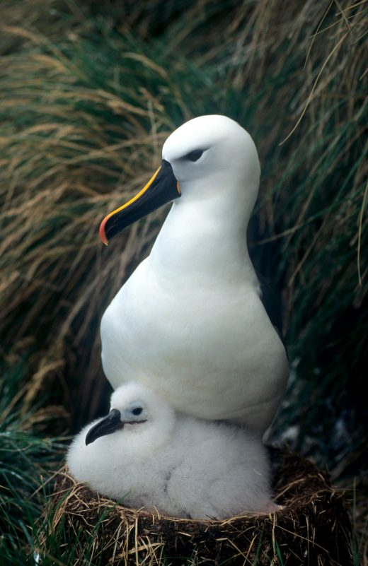 Indian yellow-nosed albatross (Thalassarche carteri) with chick at nest, Amsterdam Island