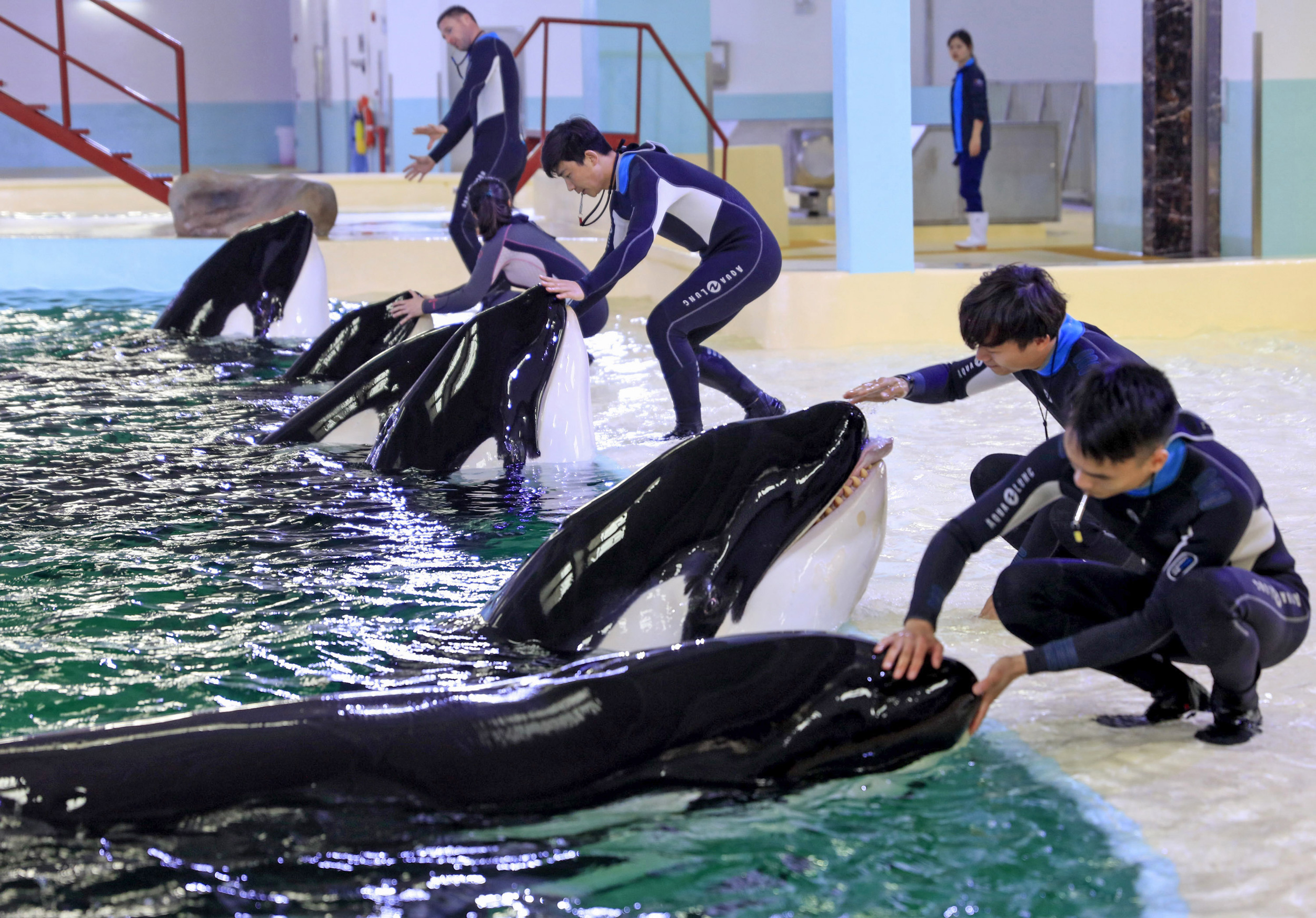 Trainers interact with captive killer whales at China's Chimelong Ocean Kingdom. Last month, the facility became home to China's first breeding center for killer whales. Photo by Liu Dawei Xinhua News Agency/Newscom