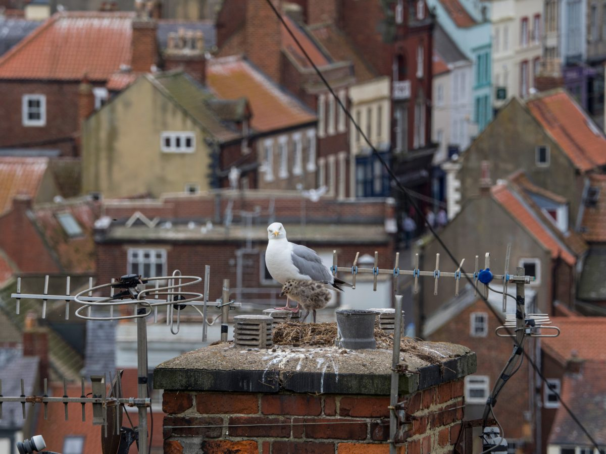 gull and chick in a nest on a chimney