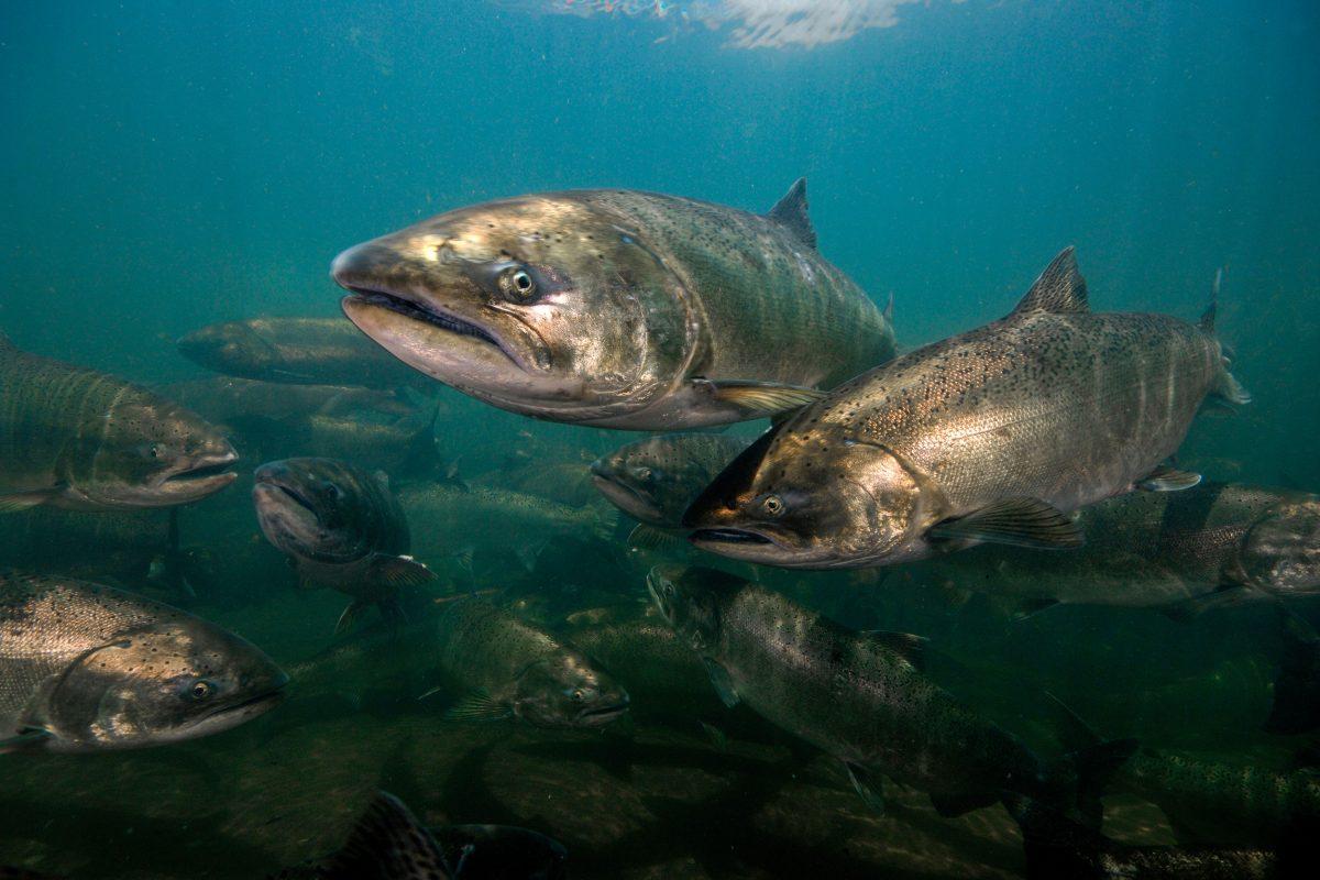 Chinook or king salmon
