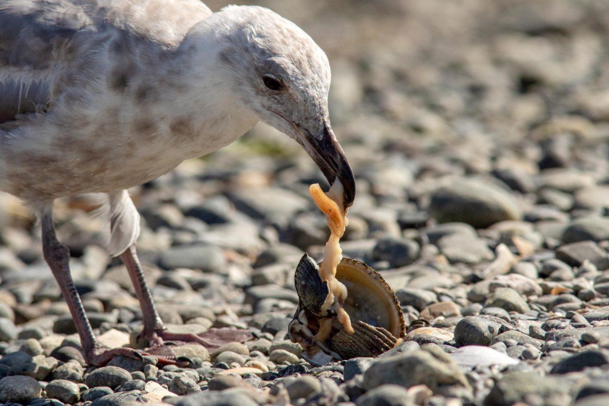 gull eating clam