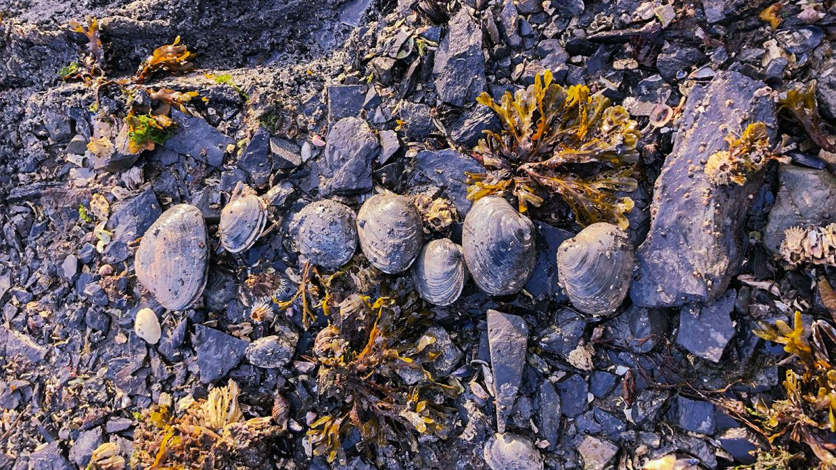: Butter clams, ready for testing, found on Trident Basin, Alaska