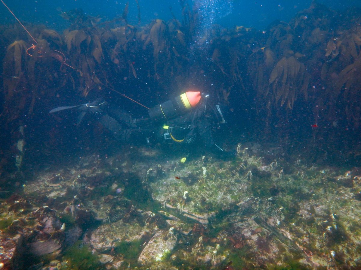 diver in kelp clearing