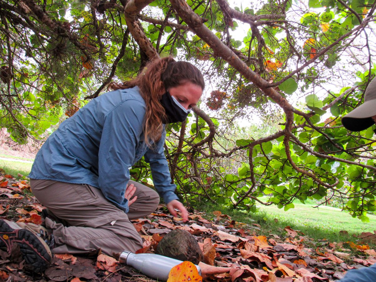 Stephanie Clements searches for geckos beneath a seagrape tree