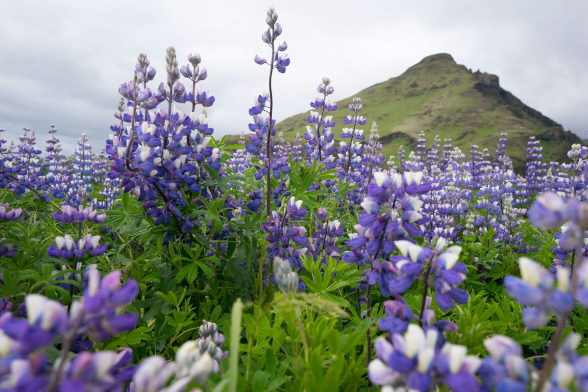 closeup of Alaskan lupine in Iceland