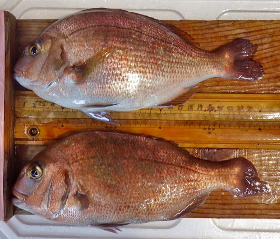 Regular and CRISPR edited seabream side by side