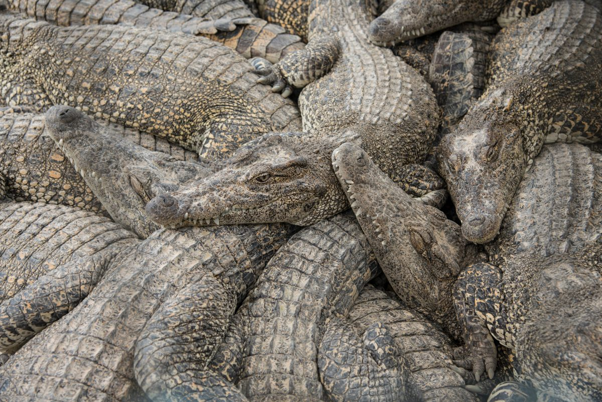 Cuban crocodiles piled on top of each other