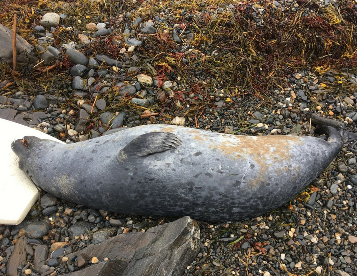 dead harbor seal Gulf of Maine