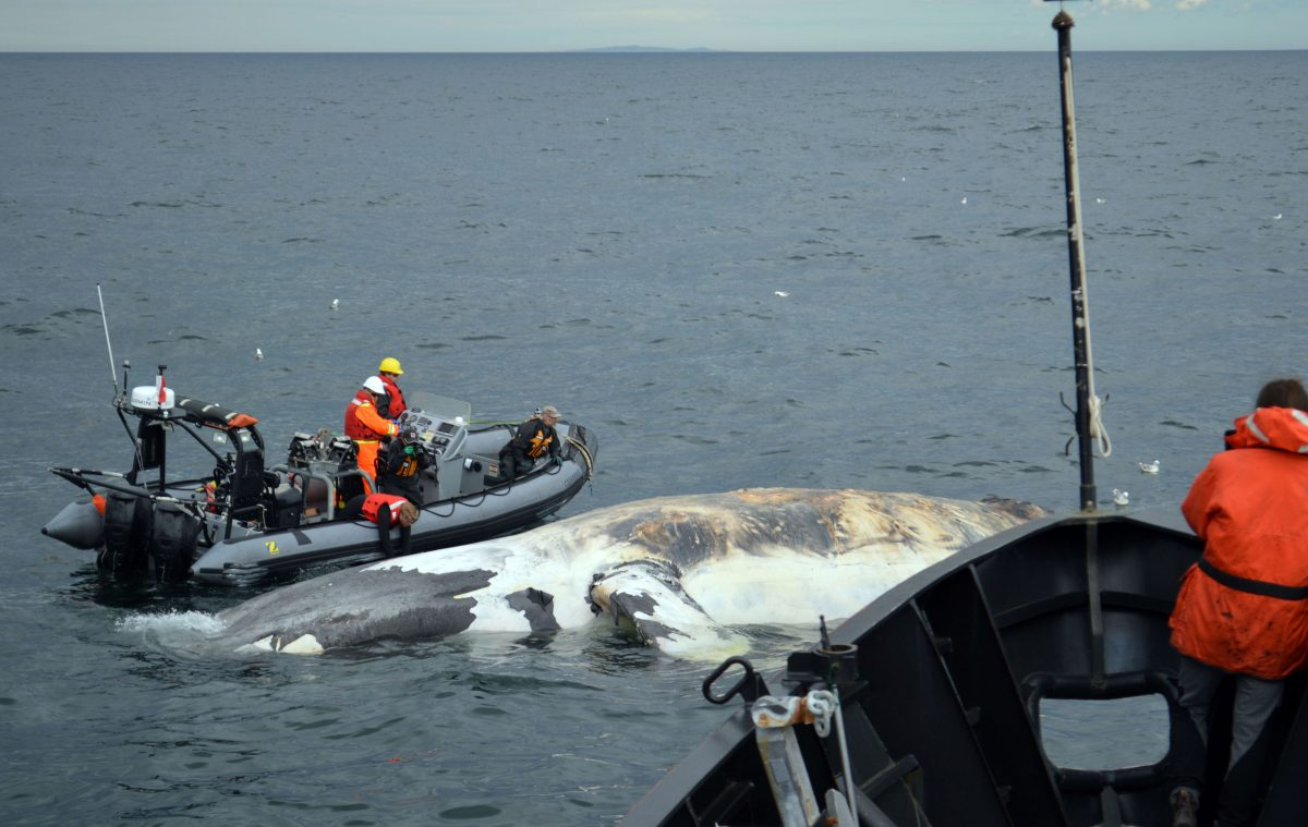 A dead North Atlantic right whale in the Gulf of St. Lawrence