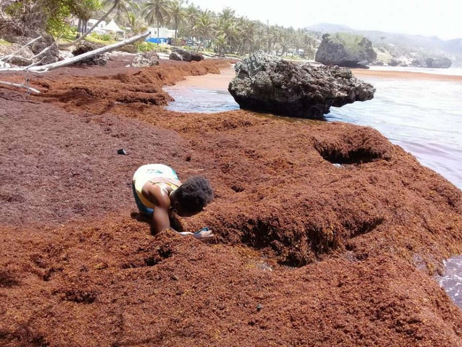 The Eastern Caribbean Is Swamped by a Surge of Seaweed | Hakai Magazine