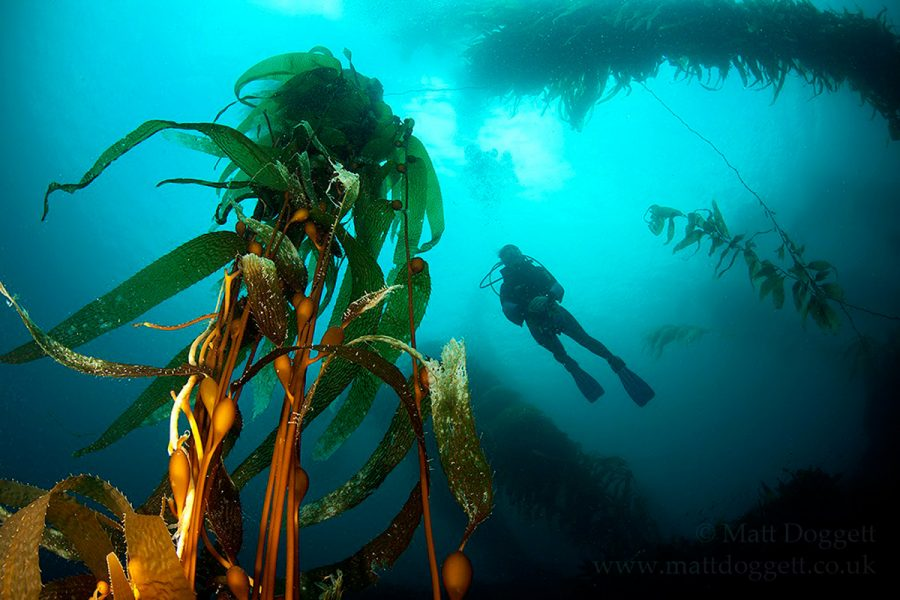 diver in kelp forest, Tasmania