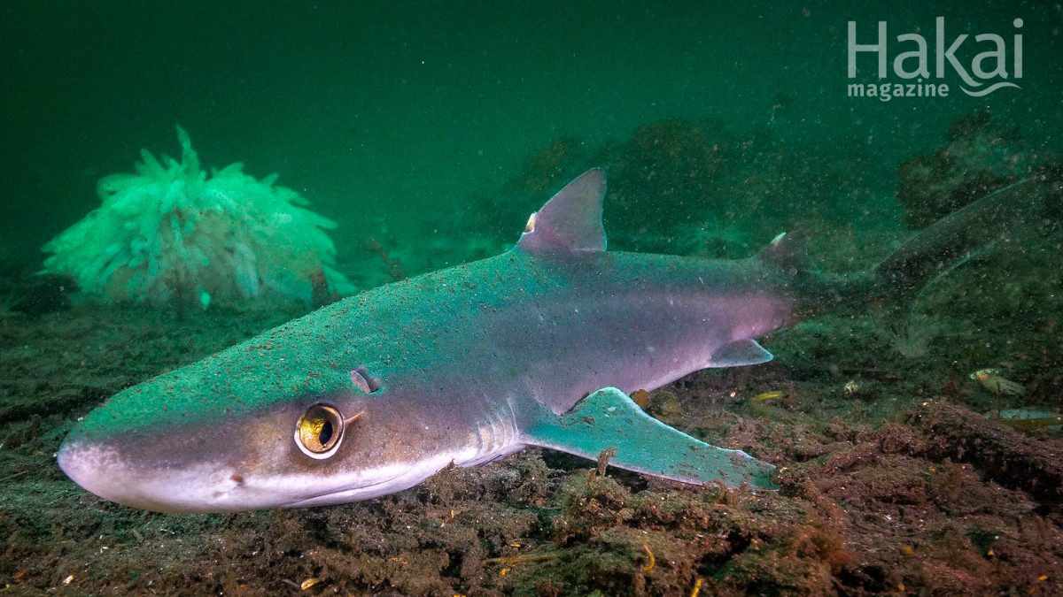Pacific spiny dogfish free zoom background