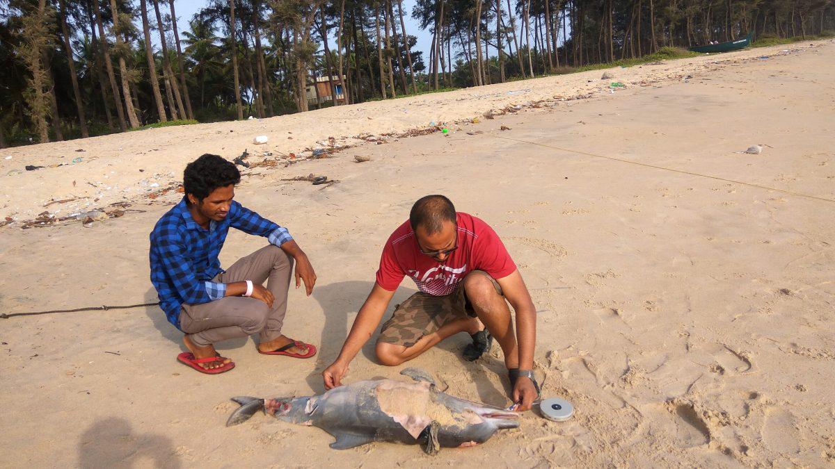 2.Shantanu Kadambi investigating a stranded baby humpback dolphin