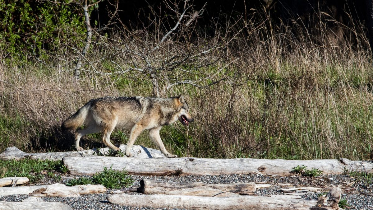 Takaya the wolf on Discovery Island