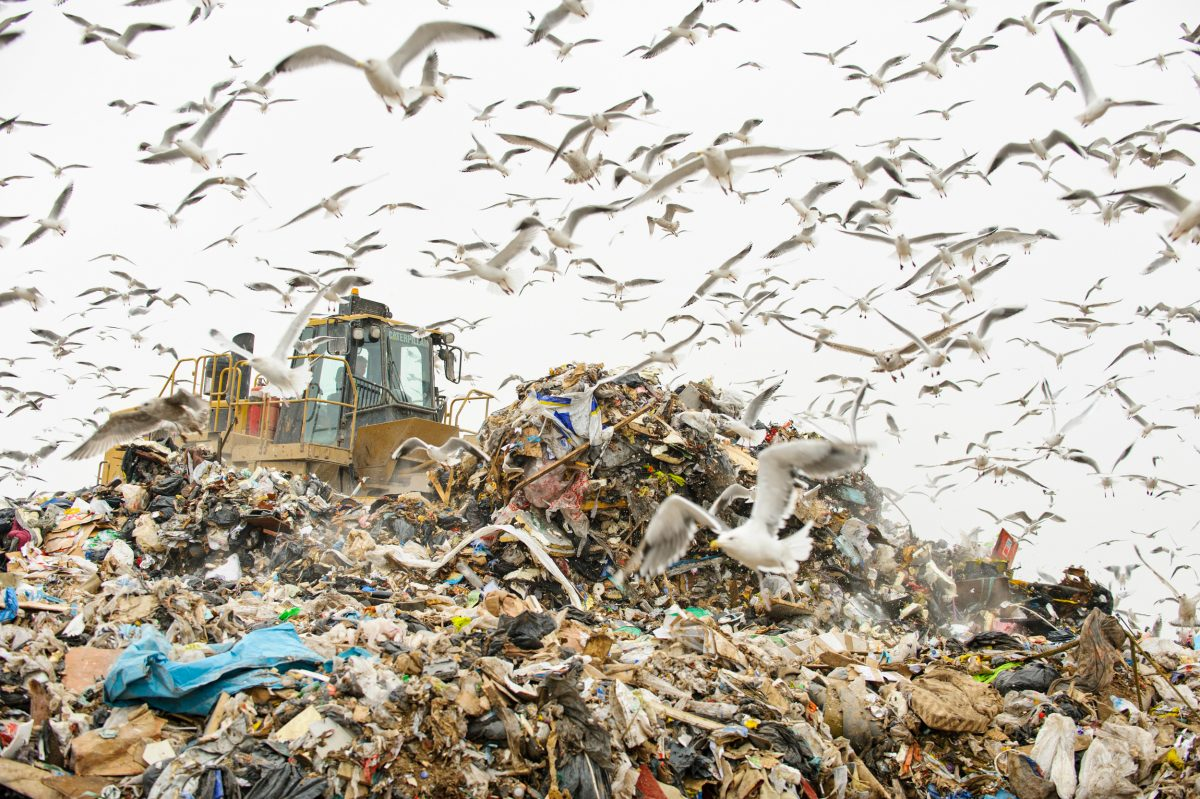 gulls swarm at garbage dump