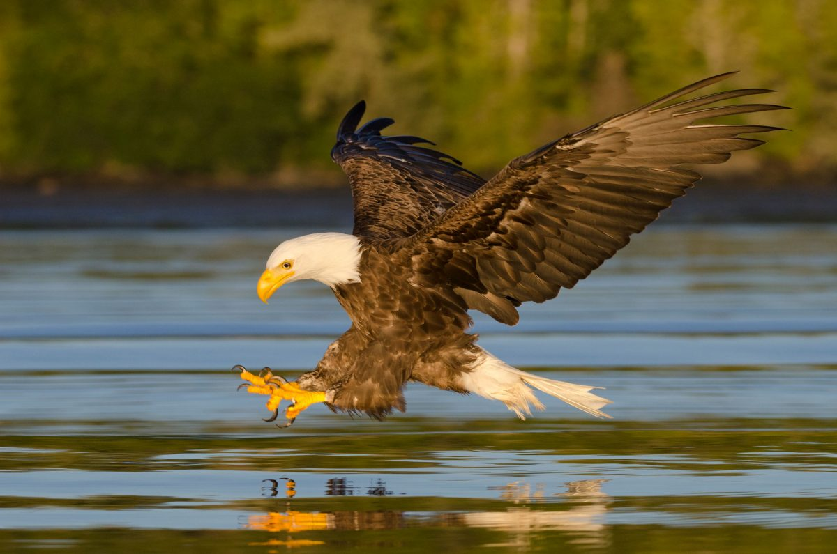An eagle fishing at sunset