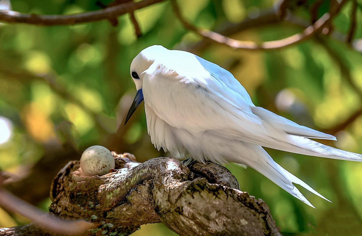 white tern with egg