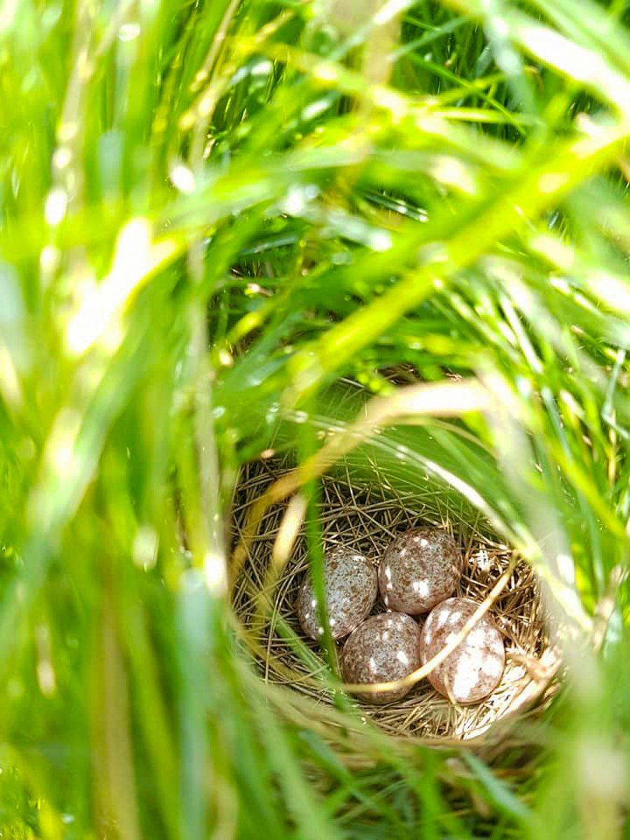 saltmarsh sparrow nest with eggs