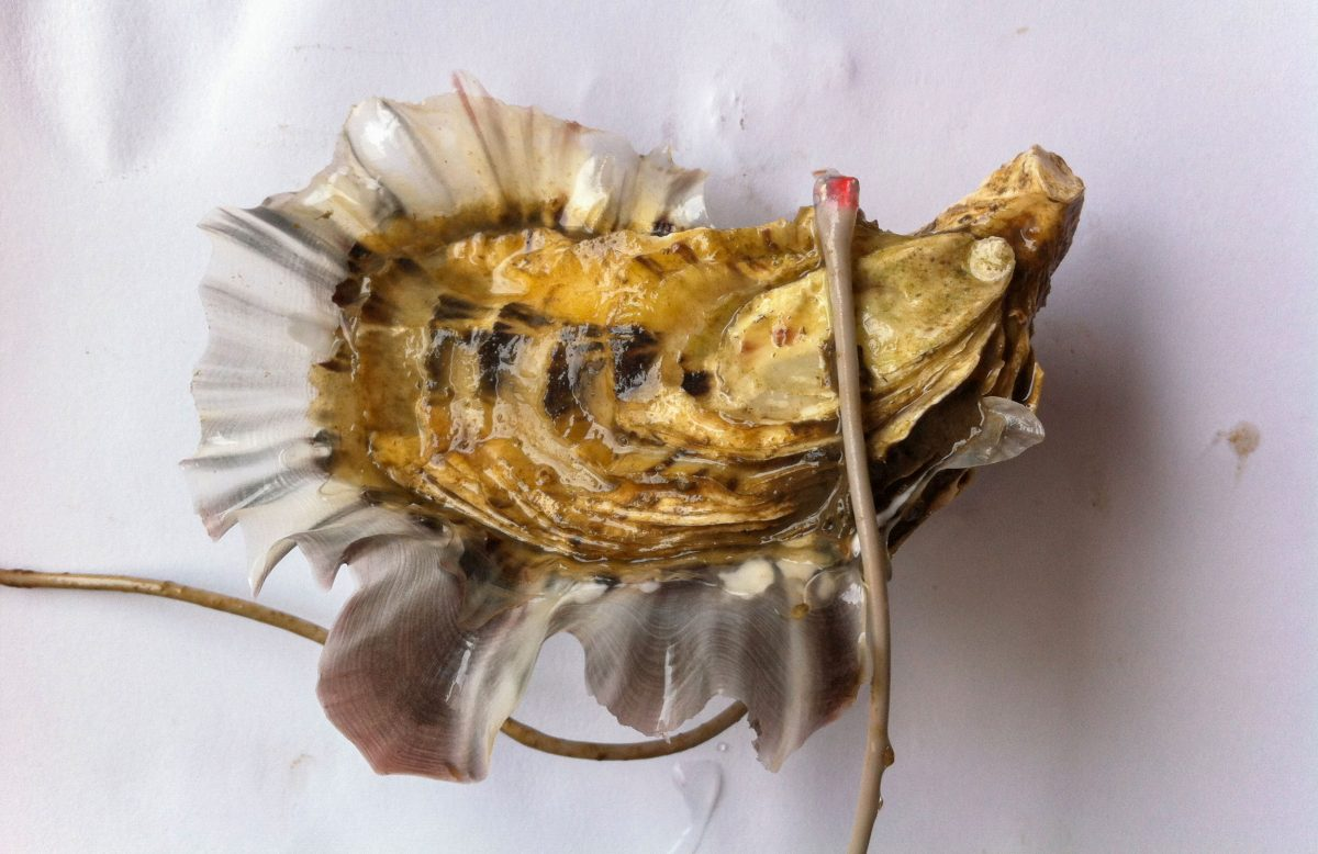 Oyster with electrodes attached