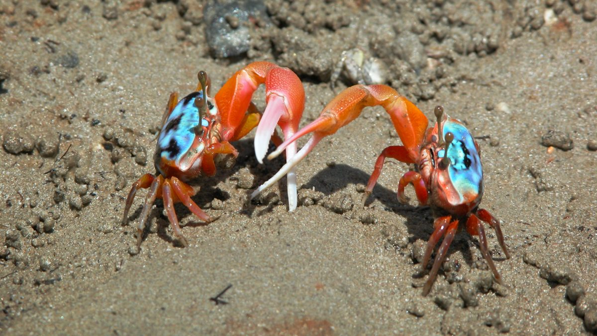 two elegant fiddler crabs in the sand
