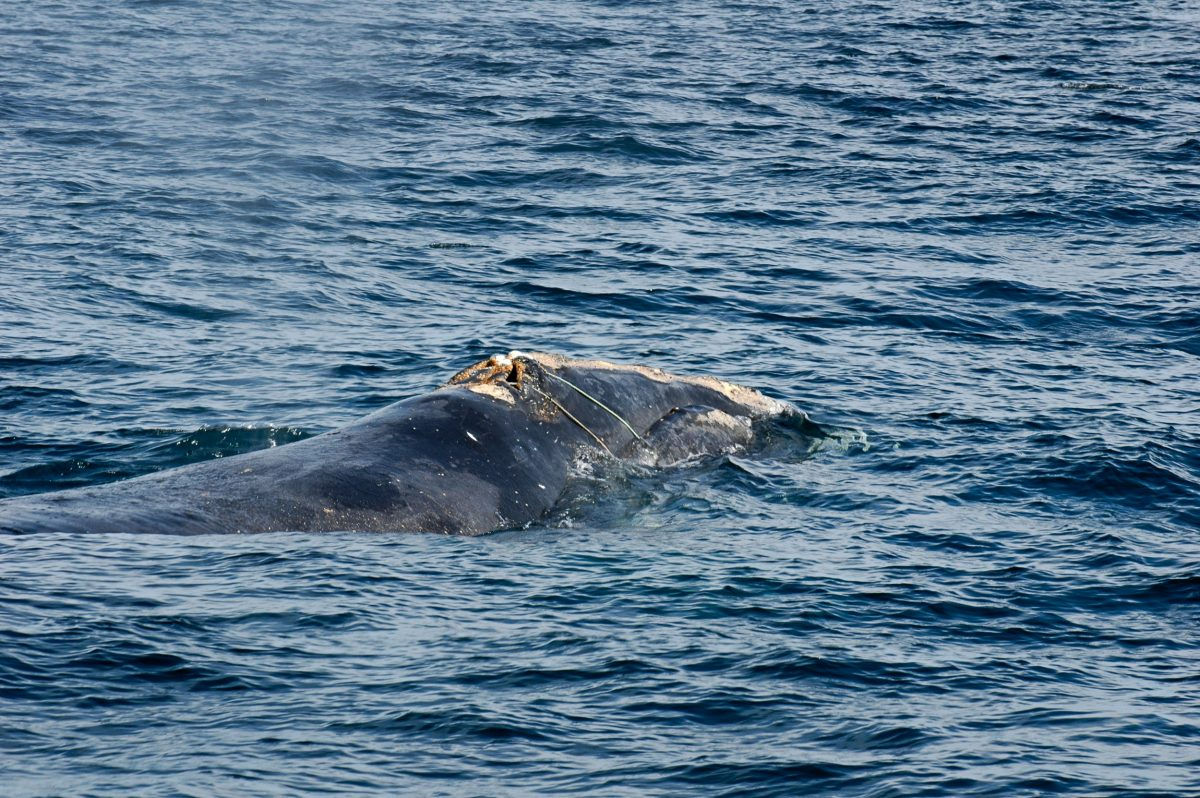 North Atlantic right whale Eg2301 entangled in rope